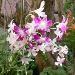 Dendrobium 0