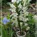 Dendrobium 1