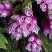 Dendrobium 2
