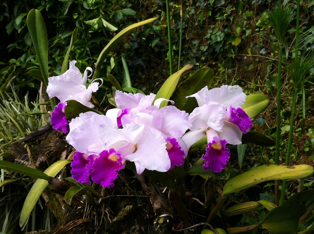 orchidee de colombie