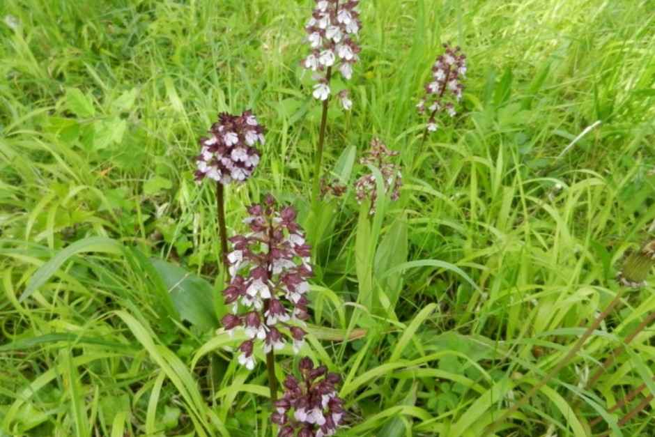 orchidee 91
